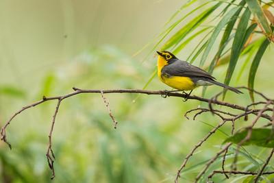 Spectacled Redstart - Papallacta, Ecuador