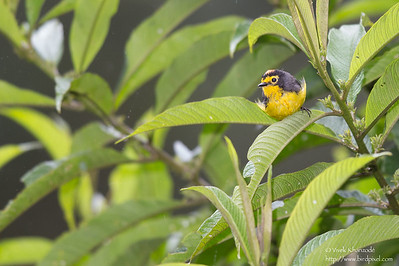 Spectacled Redstart - Guango Lodge, Ecuador