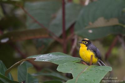 Spectacled Redstart - San Isidro Lodge, Ecuador