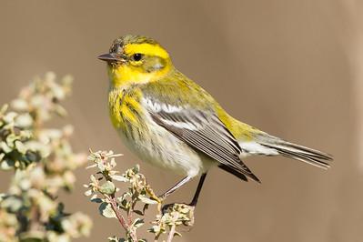 Townsend's Warbler - Cascade Ranch, Pescadero, CA