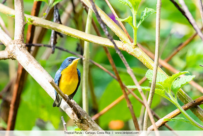 Tropical Parula - Cartago, Costa Rica