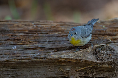 Virginia's Warbler - Carr Canyon, AZ, USA