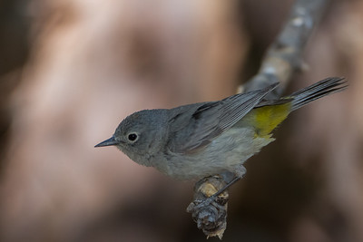 Virginia's Warbler - Carr Canyon, Nr. Sierra Vista, AZ, USA