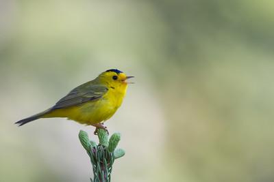 Wilson's Warbler - Bassetts, CA, USA