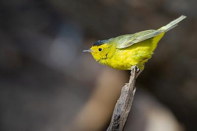 Wilson's Warbler - Carr Canyon, AZ, USA