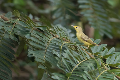 Wilson's Warbler - Female - Gamboa, Panama
