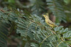 Wilson's Warbler - Female - Gamboa Rainforest Resort, Gamboa, Panama