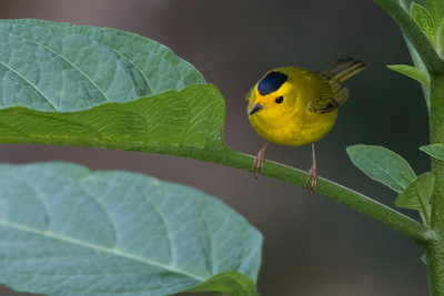 Wilson's Warbler - Los Quetzales Lodge, Guadalupe, PA