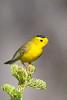 Wilson's Warbler - Yuba Pass Campground - Hwy 49, CA, USA