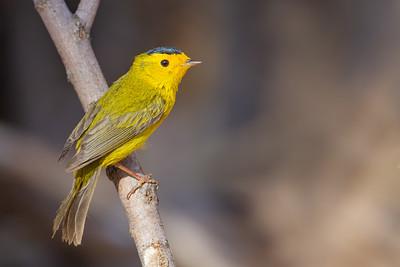 Wilson's Warbler - Sierra Vista, AZ, USA