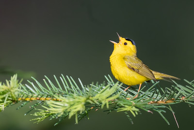 Wilson's Warbler - Plumas County, CA, USA