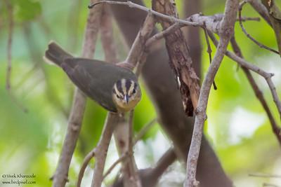 Worm-eating Warbler - Record - Caye Caulker, Belize