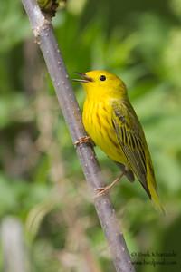 Yellow Warbler - Palmer, AK, USA