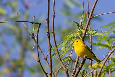 Yellow Warbler - Patagonia, AZ, USA