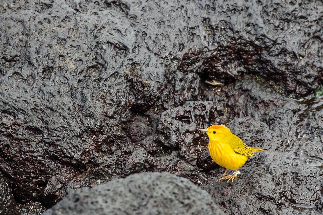 Yellow Warbler - Galapagos, Ecuador
