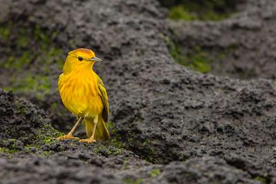 Yellow Warbler - Punta Albemarle, Isla Isabela, Galapagos, Ecuador