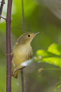 Yellow Warbler - Caye Caulker, Belize
