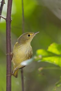 Yellow Warbler - Caye Caulker, Belize