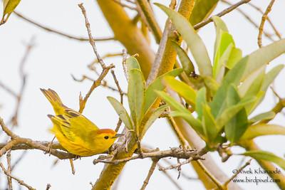 Yellow Warbler - Punta Mejia, Isla Marchena, Galapagos, Ecuador