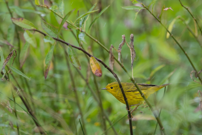Yellow Warbler - Record - Crooked Tree, Belize