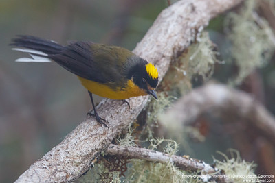Yellow-crowned Whitestart - El Dorado Lodge, Colombia