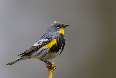 Yellow-rumped Warbler - Wuksachi Lodge, Sequoia National Park, CA, USA