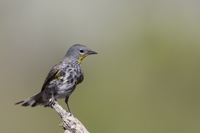 Yellow-rumped Warbler - OR, USA