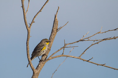 Yellow-rumped Warbler - Salton Sea, CA, USA