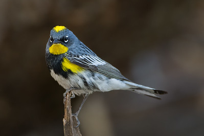 Yellow-rumped Warbler - Carr Canyon, Nr. Sierra Vista, AZ, USA