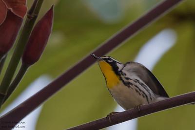 Yellow-throated Warbler - Record - Hidden Valley, Belize