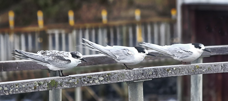 White-fronted Terns