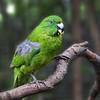 Antipodes Island Parakeet