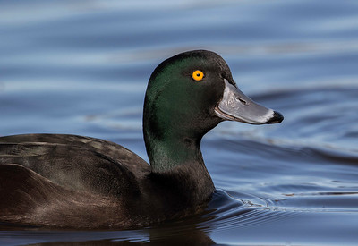 New Zealand Scaup - male