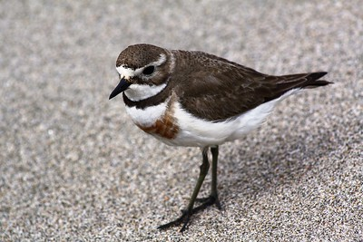 Female Banded Dotterel
