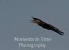 Darter (Anhinga melanogaster)