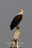 Fish-eagle (Haliaeetus vocifer)