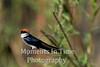 Wire-tailed Swallow (Hirundo smithii)