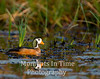 African Pygmy Goose (Nettapus auritus)