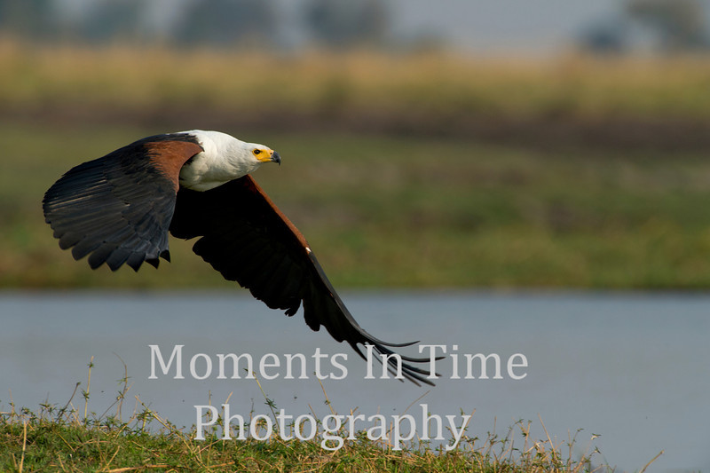 Fish-eagle (Haliaeetus vocifer)