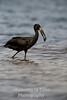 Stork African Openbill (Anastomus lamelligerus)