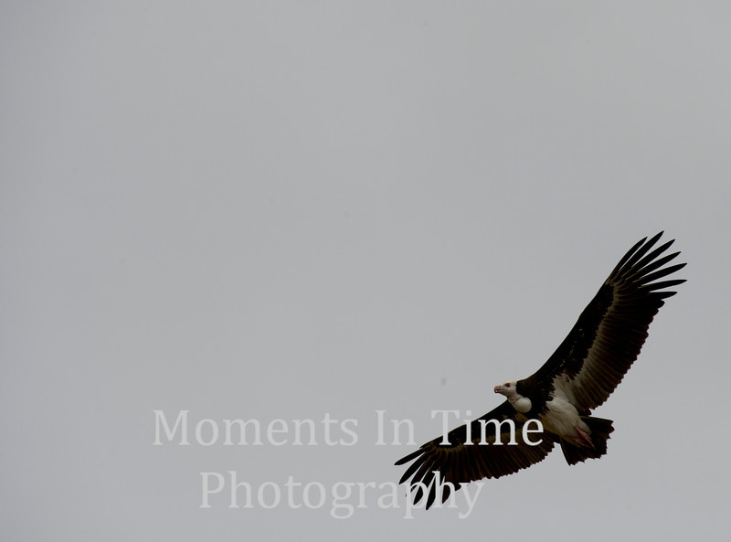 African White-backed Vulture (Gyps africanus)