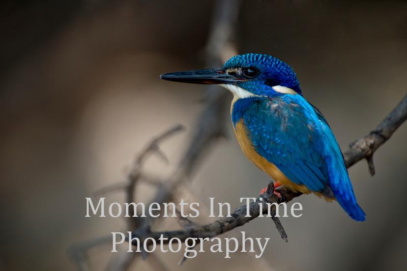 Half collard Kingfisher (Alcedo semitorquata)