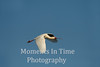African Spoonbill (Platalea alba)