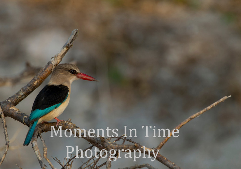 Brownhooded kingfisher (Halcyon albiventris)