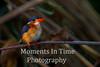 Malachite Kingfisher (Alcedo cristata)s)