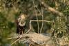 African Marsh Harrier (Circus ranivorus),