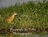 Heron Squacco  (Ardeola ralloides)