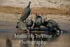 Guinea fowl helmeted (Numida meleagris)