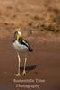 African Wattled Lapwing (Vanellus senegallus)
