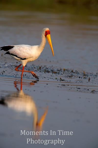 Yellow-billedStork (Mycteria ibis)